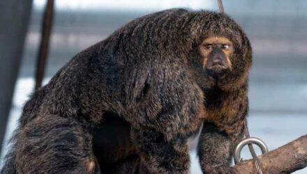 В финском зоопарке живет необычная обезьянка-бодибилдерша