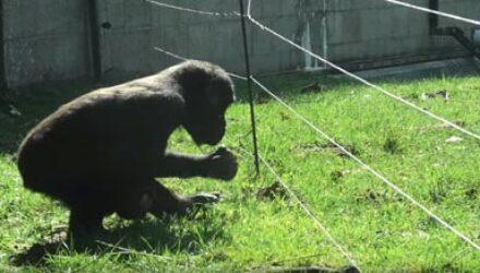 Умная горилла научилась справляться с электрическим забором