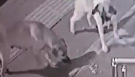 Отчаянная кошка повергла в бегство стаю собак