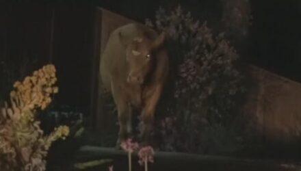 Причиной подозрительного шума оказались коровы, устроившие себе ночную трапезу