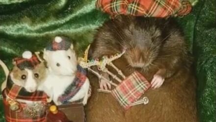 Спящую крысу научили играть на волынке