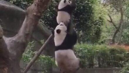 Панда, решившая снять своё чадо с дерева, обошлась с ним довольно бесцеремонно