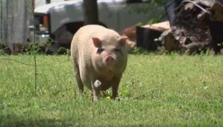 Свинья, несколько месяцев живущая на воле, изрядно потолстела