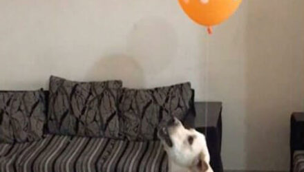 Владельцы развлекли пса, привязав к его ошейнику воздушный шарик