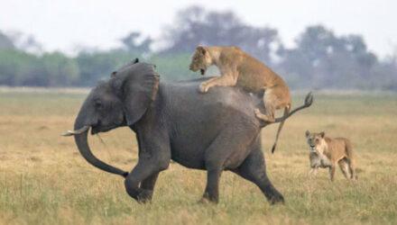 Львица, вознамерившаяся пообедать слонёнком, не рассчитала свои силы