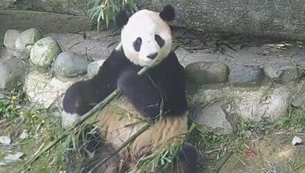 Обедающая панда оказалась очень разборчивой