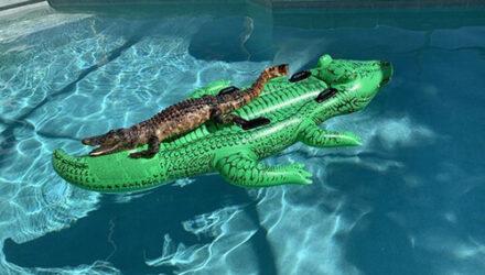 Аллигатор принял своего надувного «собрата» за прекрасную даму