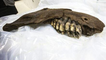 Юный любитель археологии нашёл челюсть доисторического животного