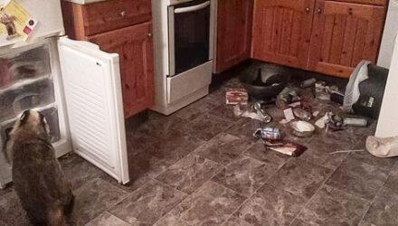 Барсук регулярно пробирается в дом и ворует еду из холодильника