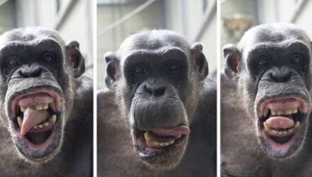 Увидев фотоаппарат, шимпанзе принялся корчить уморительные рожи