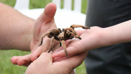 Чтобы поменьше общаться с тёщей, зять завёл домашнего тарантула