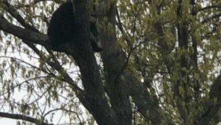 Любопытному медведю не позволили погулять по улицам