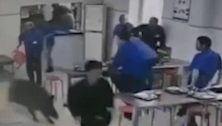 Дикий кабан, ворвавшийся в заводскую столовую, вызвал панику