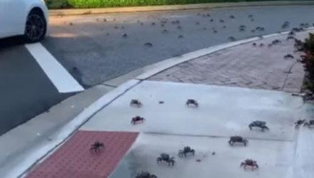 Крабы, захватившие улицу, напугали женщину