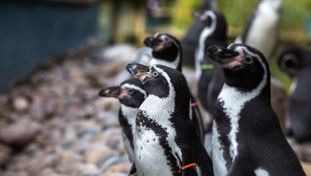 Сотрудники зоопарка регулярно выбирают «пингвина месяца»