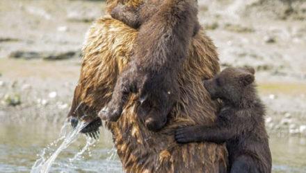 Медведица позволила детёнышам переплыть озеро у неё на спине