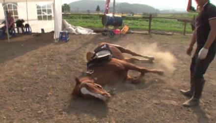 Лошадь притворяется мёртвой, лишь бы на ней не ездили