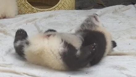 Пухлая панда долго не могла перевернуться