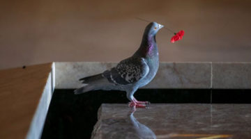 Вандалом, ворующим красные маки, оказался голубь