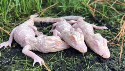 Удивительно выглядящие аллигаторы-альбиносы окружены заботой и любовью