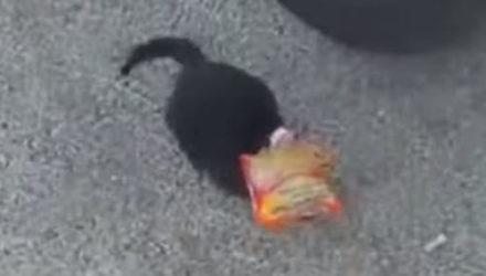 Кошка, сунувшая голову в пакет, не смогла самостоятельно его снять