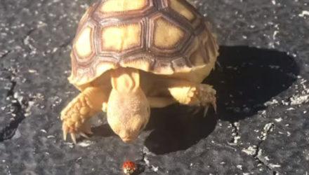 Черепаха оказалась никудышной охотницей