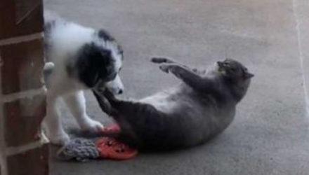 Толстый кот не рад тому, что щенок овчарки пытается его пасти