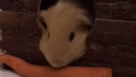 Вкусная морковка стала причиной мучений морской свинки