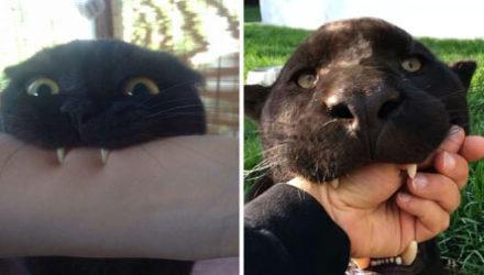 Шутники доказали, что у чёрных кошек много общего с их дикими собратьями