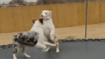 Собаки выяснили, что играть на батуте очень весело