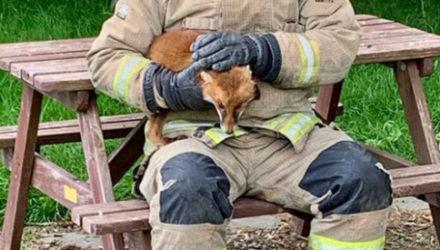 Лиса, застрявшая в столе для пикника, была спасена пожарными