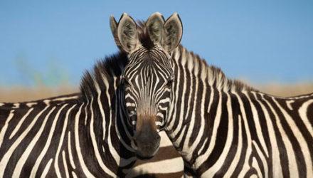 Две зебры с одной головой стали загадкой для пользователей интернета