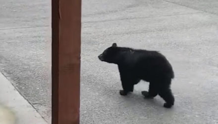 Медведь знает, как достать обед из мусорного бака