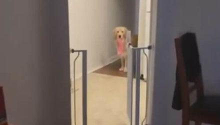 Пёс уверен, что хозяйское нижнее бельё принадлежит только ему