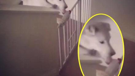 Умную собаку не способны остановить детские воротца
