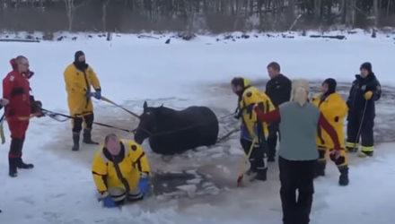 Лошади, провалившейся в замёрзший пруд, прорубили дорожку