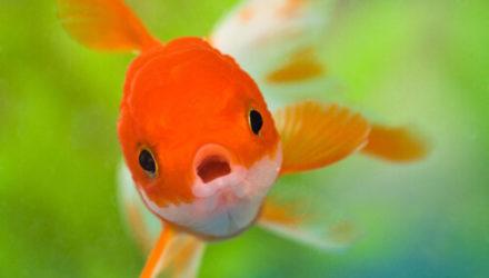 Исследователи обнаружили в озере гигантскую золотую рыбку