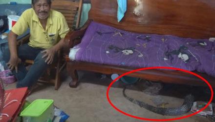Не сумев закусить домашней кошкой, варан спрятался под софой