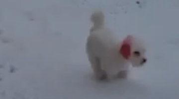 Из-за хозяйской ошибки собака надолго осталась с красными ушами