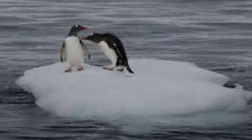Пингвины не поделили кусок льда