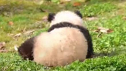 Панда отлично знает как поднять настроение и себе, и окружающим