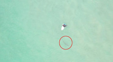 Серфер случайно наступил на трусливую акулу