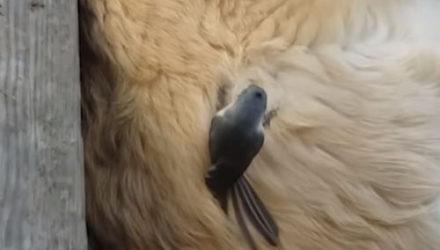 Спящий пёс, сам того не зная, подарил свой мех маме-птичке