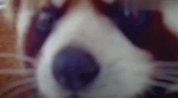 Камера видеонаблюдения показалась красной панде необычайно интересной