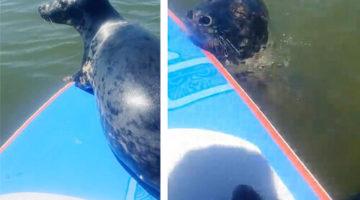Плавая на доске с веслом, мужчина заодно покатал тюленя