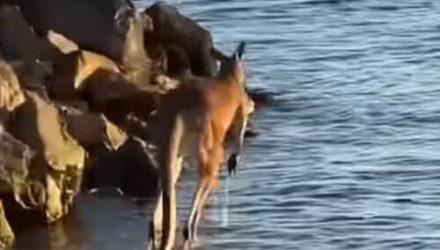Не обратив никакого внимания на рыбаков, кенгуру освежился в водичке