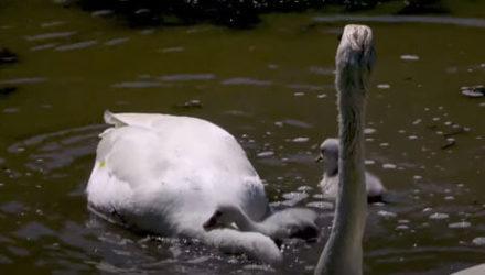 Маленький лебедь попал в комичное затруднительное положение